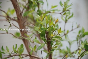 henna-plant
