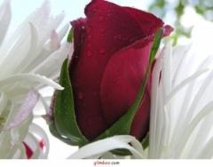 rose-61